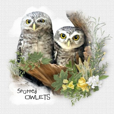 Spotted Owlets.jpg