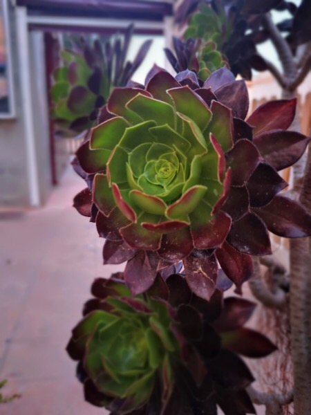 April Photography Challenge Week 2 - Aeonium Arboreum Hybrid